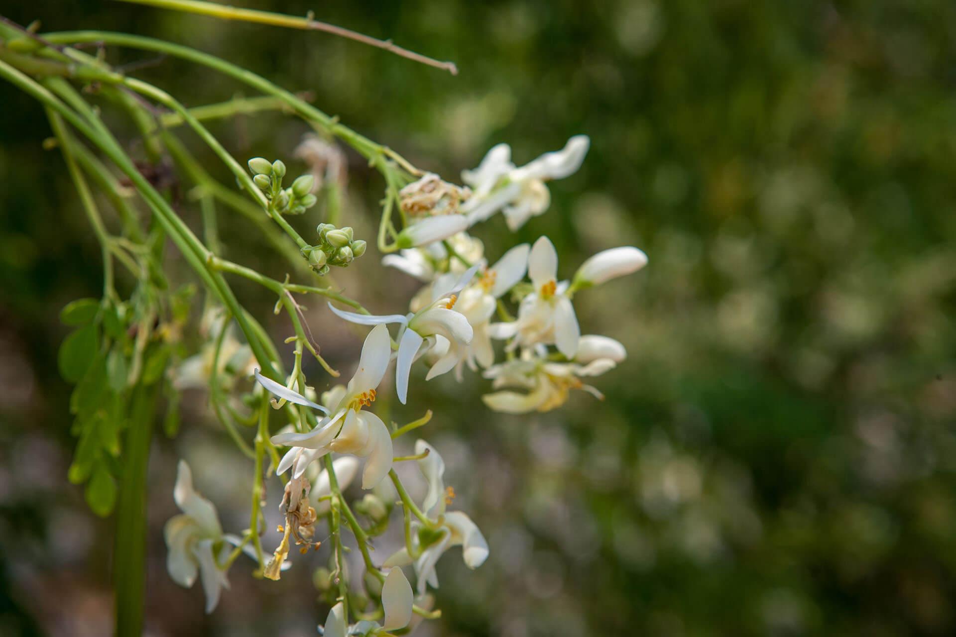 שתילי מורינגה במחיר מיוחד לפתיחת האביב
