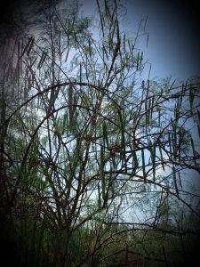 מורינגה רותמית –            זרעי מורינגה רותמית  moringa peregrina
